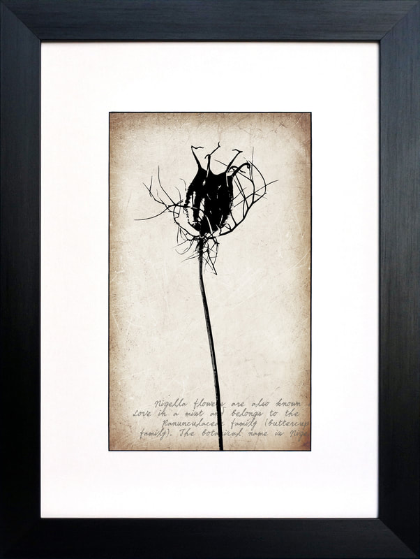 Nigella seed head botanical drawing on a vintage sepia background Fiona Gray Print