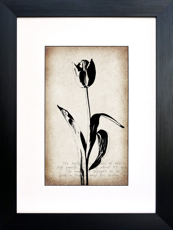 Botanical print of a Tulip in Black on a Sepia background by Fiona Gray