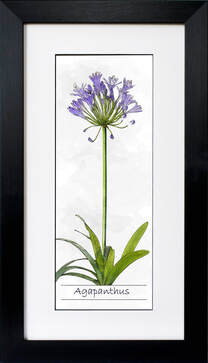 Agapanthus ink and watercolour illustration by Fiona Gray