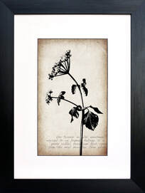 Cow Parsnip botanical illustration on Sepia vintage inspired background by Fiona Gray