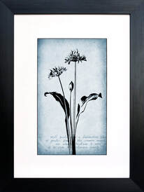 Wild Garlic botanical illustration on Blue vintage inspired background by Fiona Gray