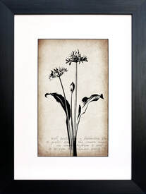 Wild Garlic botanical illustration on Sepia vintage inspired background by Fiona Gray